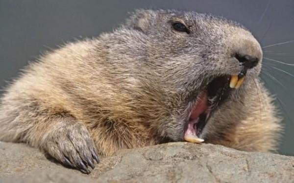 10. Beaver