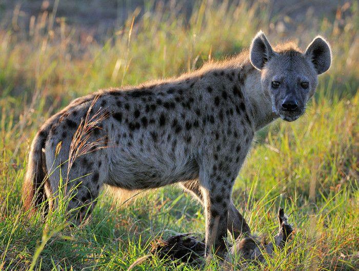 1. Hyena