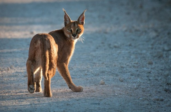 11. Caracal in Madikwe