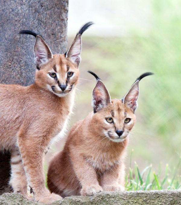 12. Caracal Kittens