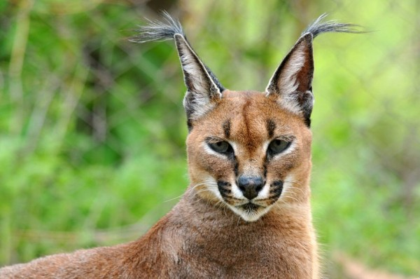 16. Caracal by Imran Azhar