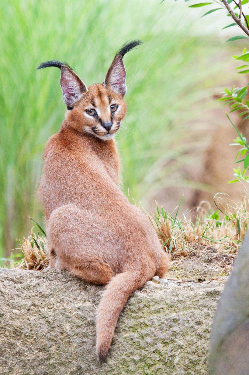 18. Caracal Kitten