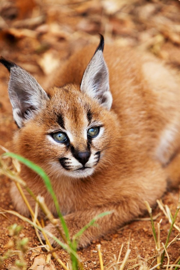 20. Caracal Kitten by Anthony Ponzo