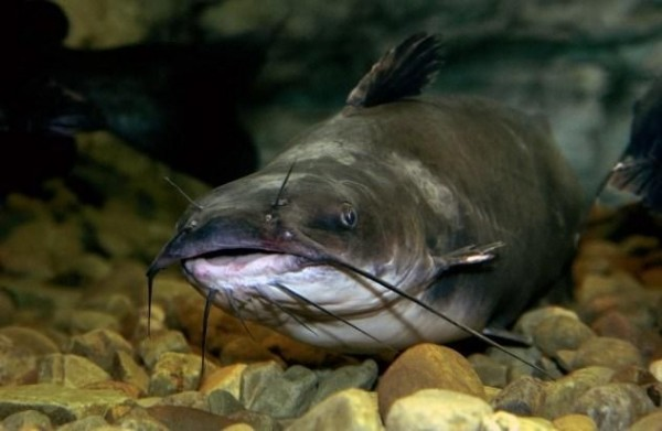 4. Striped Catfish