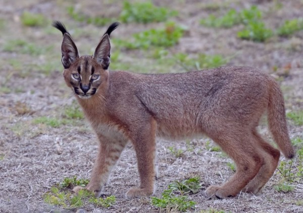 5. Caracal youngster. by Gregg Darling
