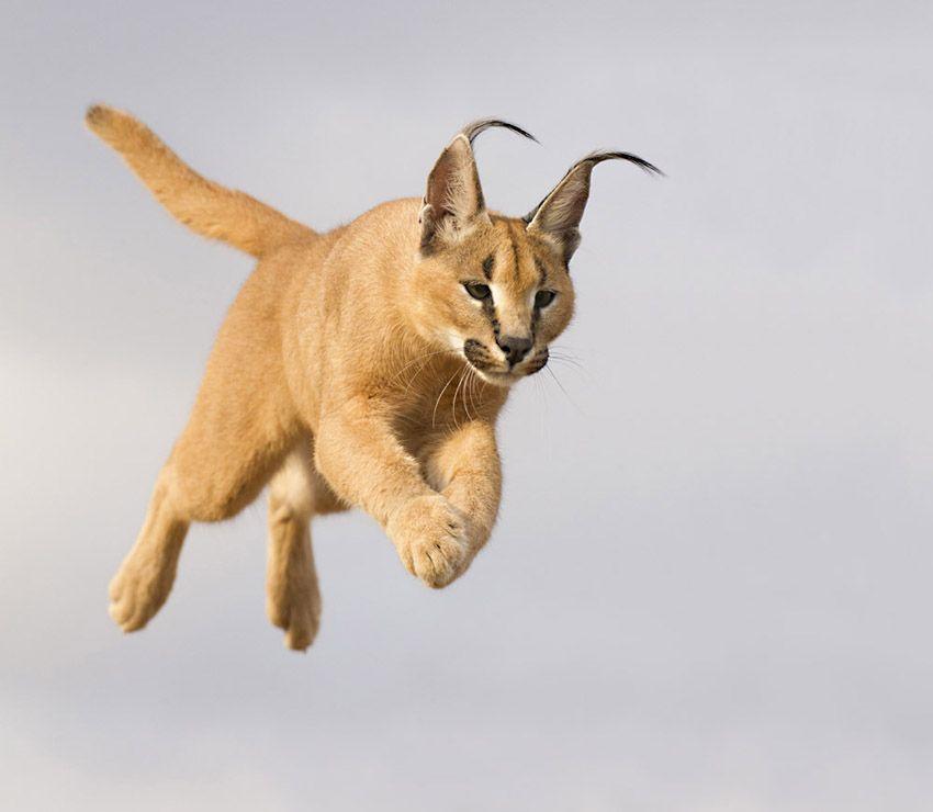7. Caracal leap