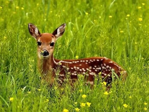 8. Deer