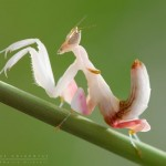 Amazing Orchid Mantis Insects Similar as Flowers