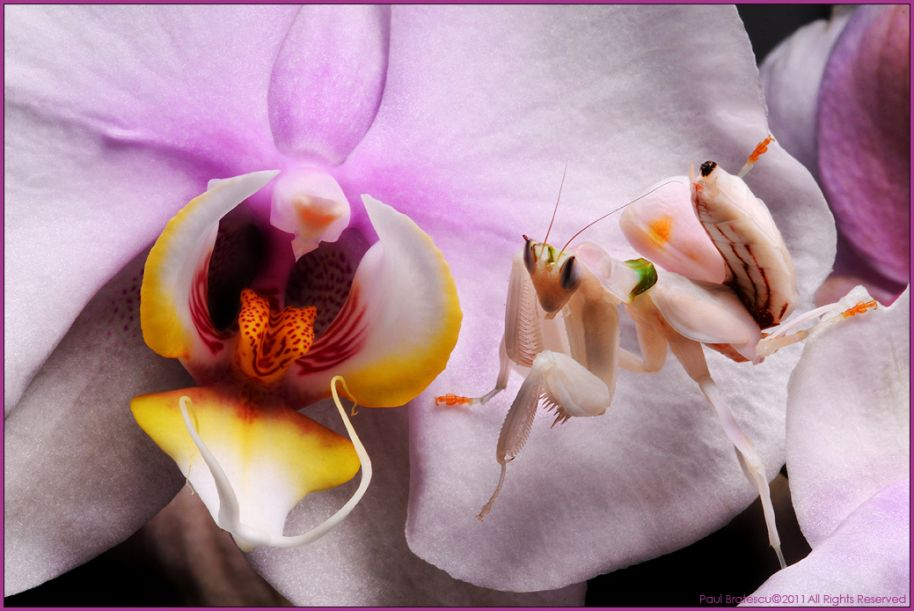 10. Flower mantis by Paul Bratescu