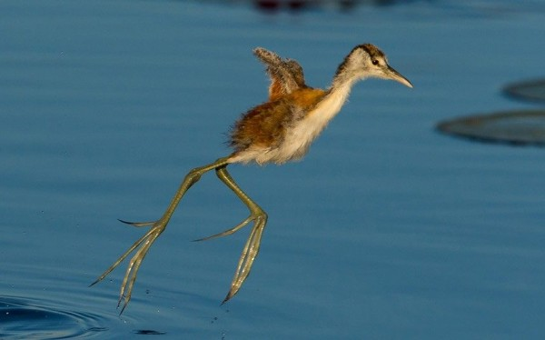 Young African jacana, also known as bird of Jesus