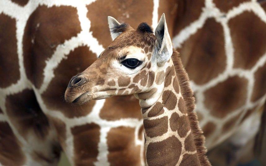 Giraffe calf, born at Como Zoo in St. Paul just a week ago.