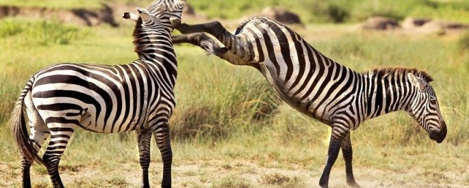 Photographer Thomas Retterath took this picture of the struggle between the two zebra stallions in Ngorongoro