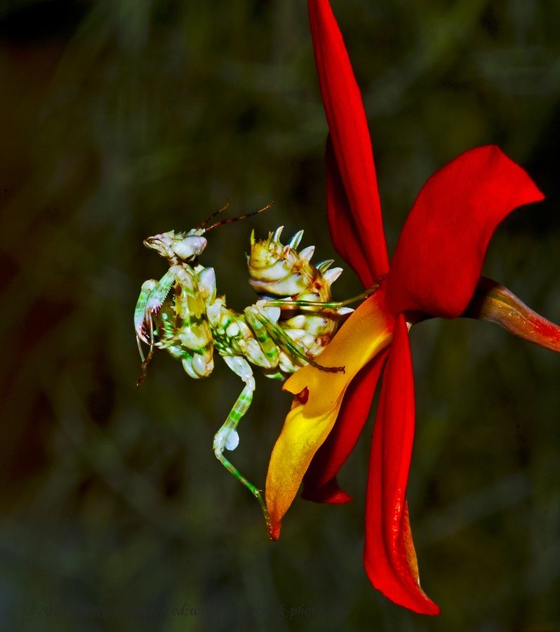 13. Raptor Orchid mantis on orchid by Komi Fuchs