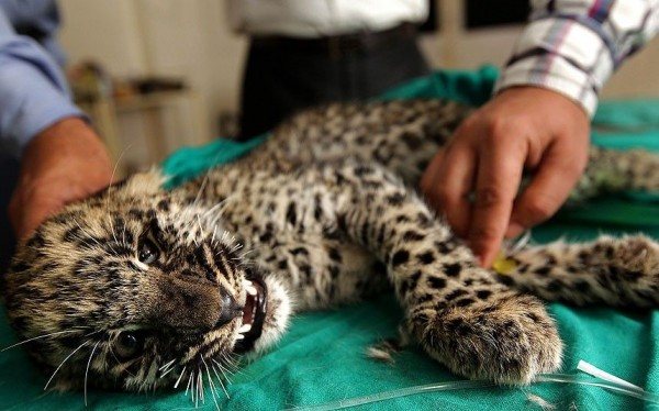 Leopard cub is being treated in Jammu, India