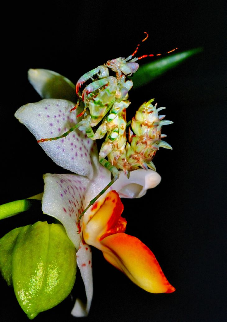 16. Mantis Orchid