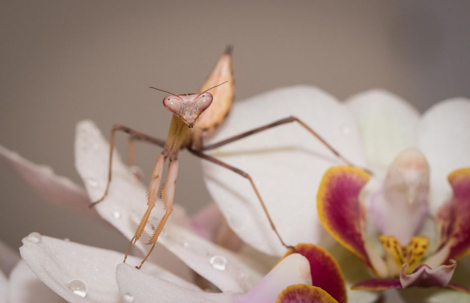 19. Orchid Mantis by Lee Crawley