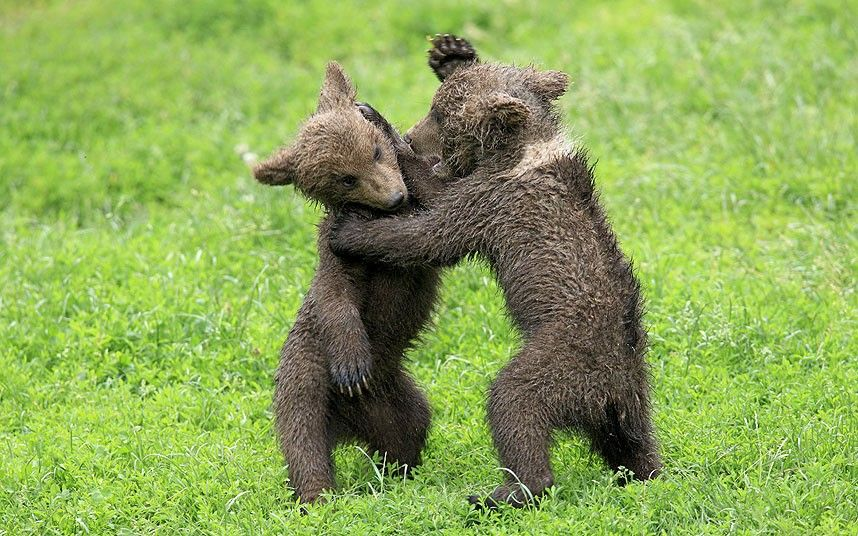 Brown bear cubs playfully fighting in the park Tripsdrill, Germany