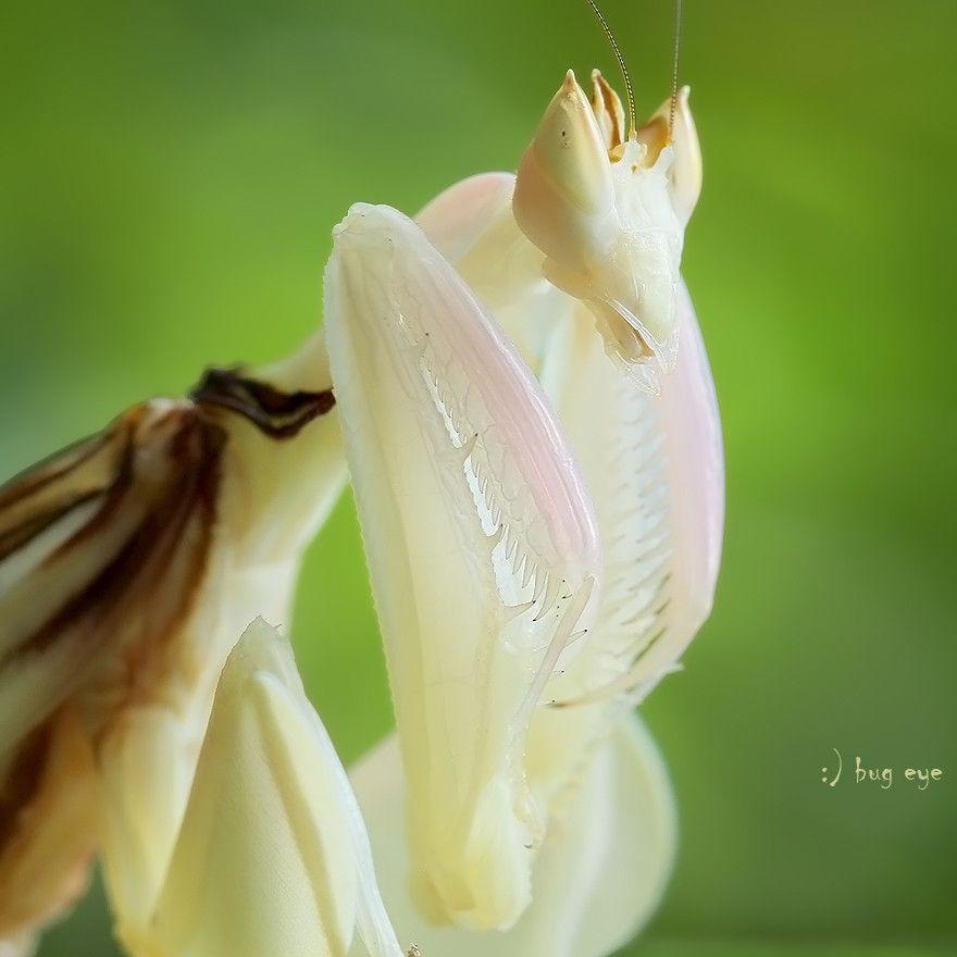 3. Orchid Praying Mantis