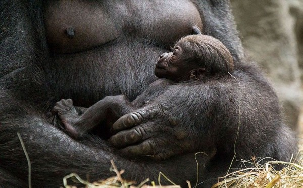 Newborn baby western lowland gorilla in Buffalo Zoo