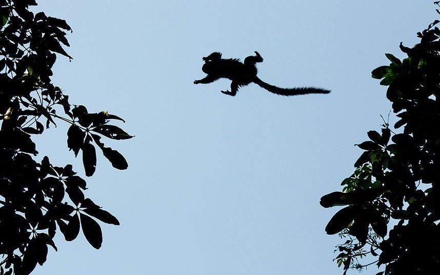 Wild monkey is jumping between trees in Rio de Janeiro, Brazil