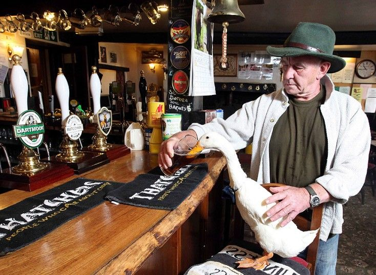 Duck Star and her owner Barry Hyman with a pint of ale at The Old Courthouse Inn in Chulmleigh, North Devon