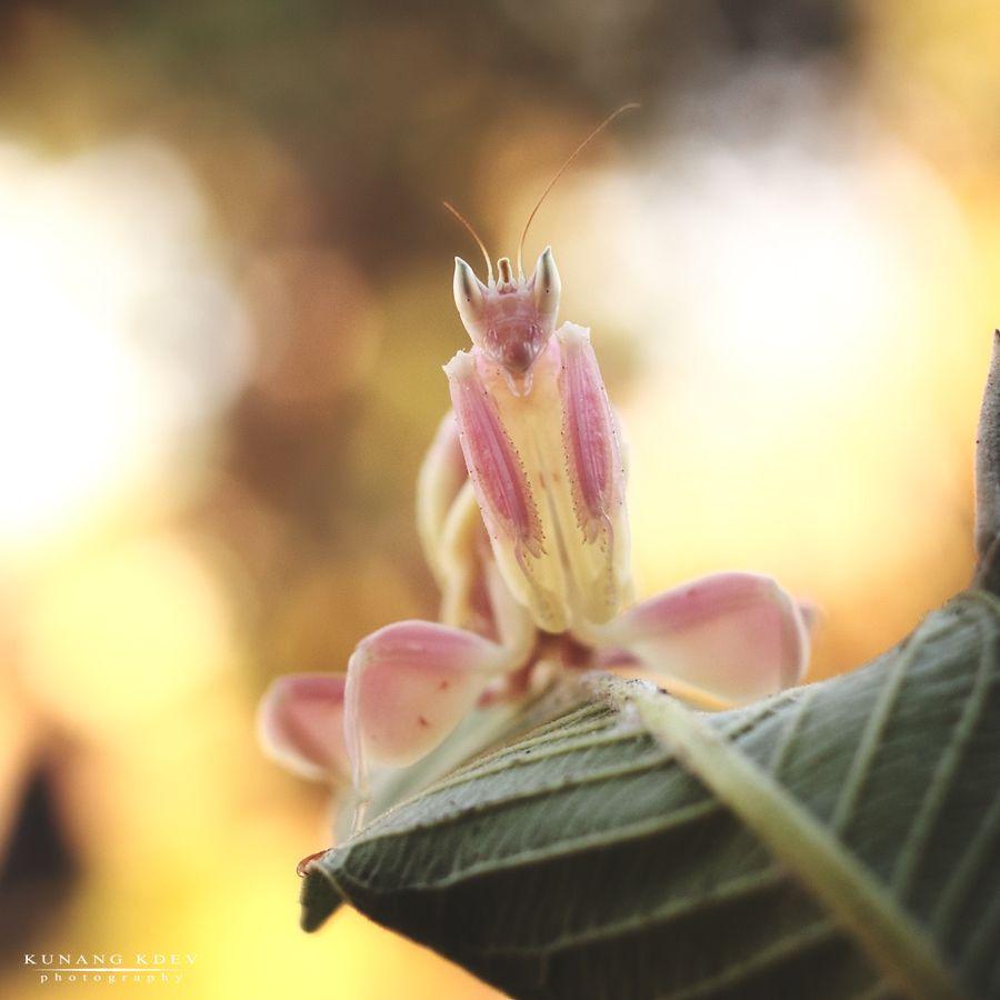 6. Orchid Mantis
