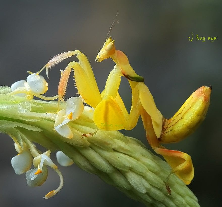 7. Yellow Orchid Mantis
