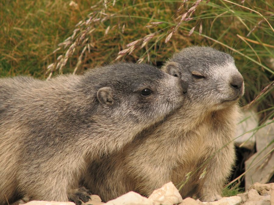 10. Marmot kiss