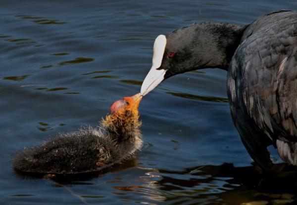 11. Coot feeding its chick.