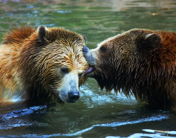12. Kissing Bears