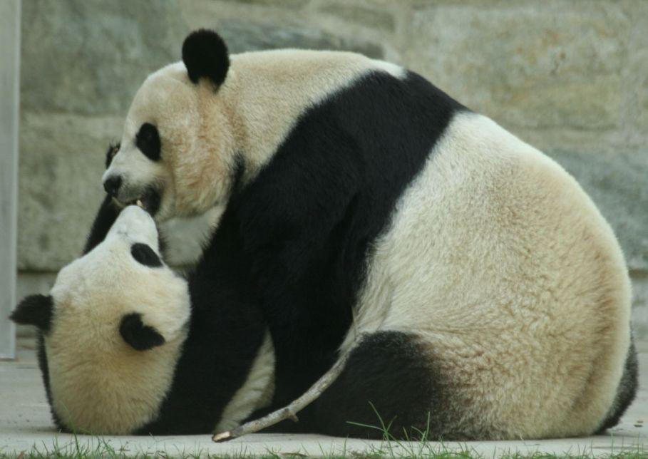 17. Panda Kisses