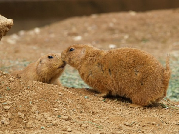 19. Kissing prairie dogs