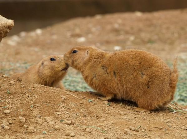 19. Kissing prairie dogs