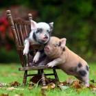 2 Mini Pigs + 1 Mini Chair