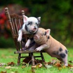 The 20 Heartwarming Pictures of Baby Pigs You Need To See Before You Die