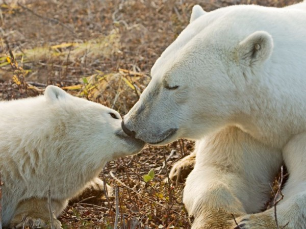 2. Polar Bear Mother and Cub