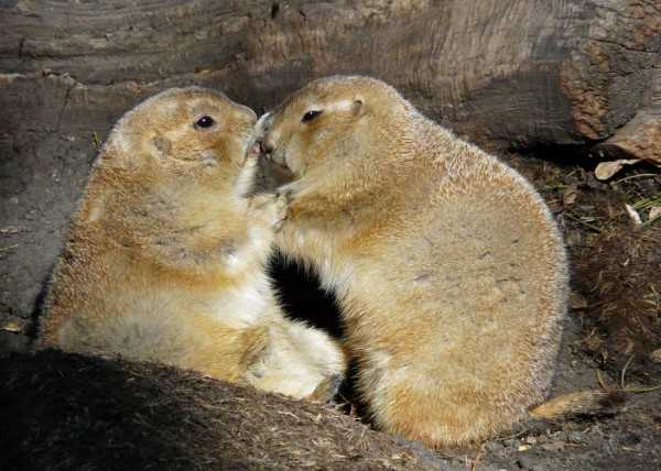 21. Lovable black-tailed prairie dogs Kisses