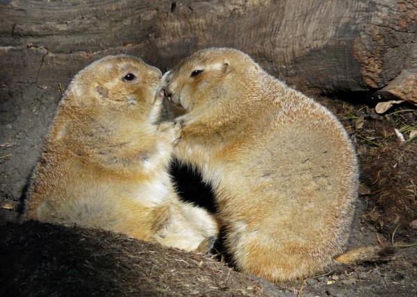 21. Lovable black-tailed prairie dogs Kisses