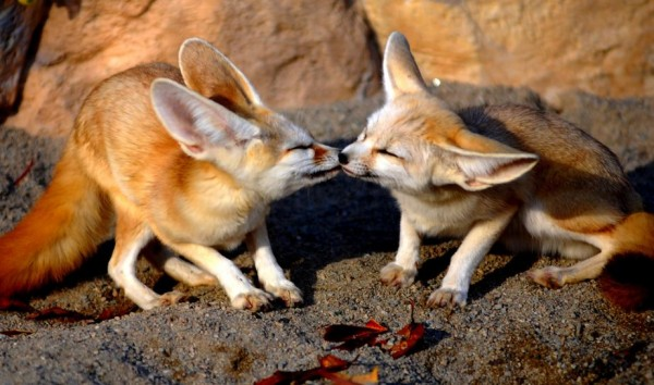 23. Kissing fennec fox