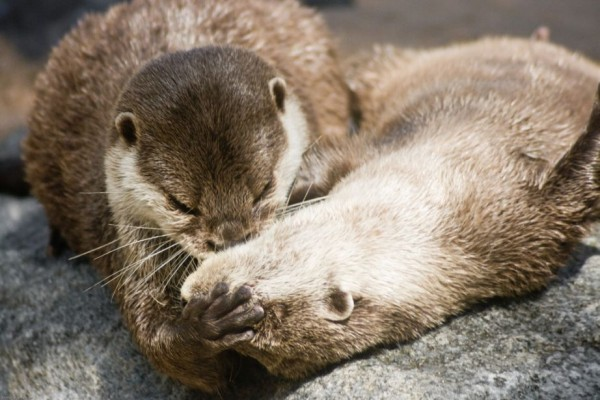 29. Otter's Kiss