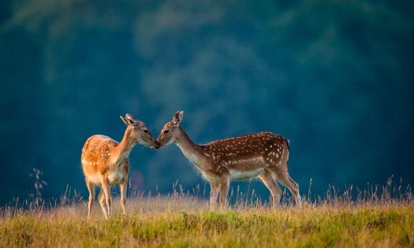 5. Deer Kiss