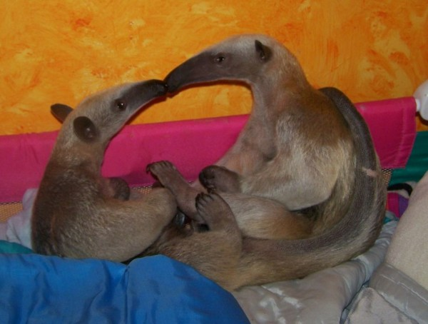 8. Two little anteaters Doing Kiss