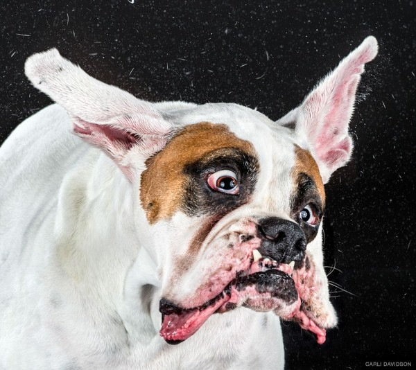Hilarious High-Speed Photographs of Dogs Shaking by Photographer Carli Davidson