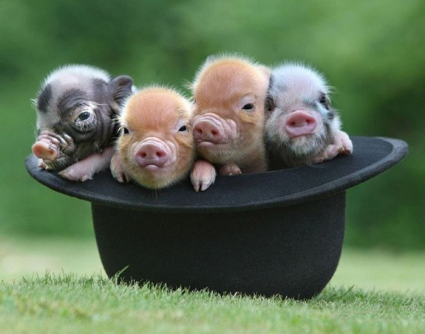 Four Pigs in One Black Hat
