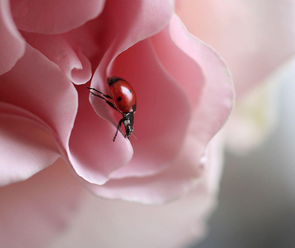 Adorable Ladybirds by Ellen van Deelen