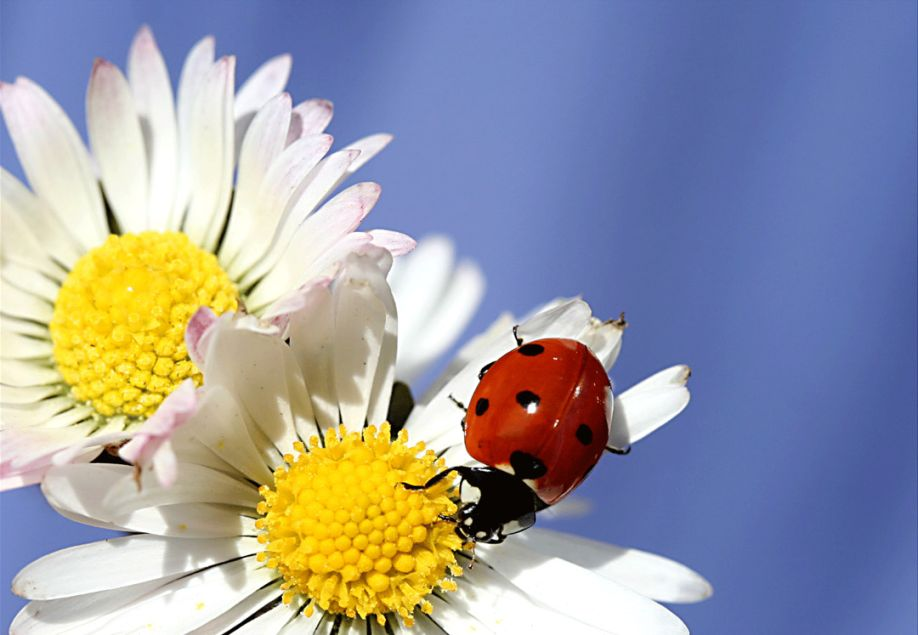 Macro Photography of Ladybugs