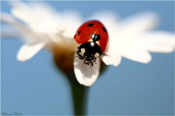 Macro Photography of Ladybugs