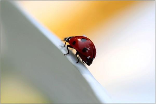 Ladybirds (4)