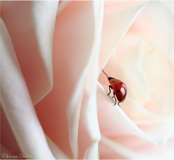 Adorable Ladybirds by Ellen van Deelen