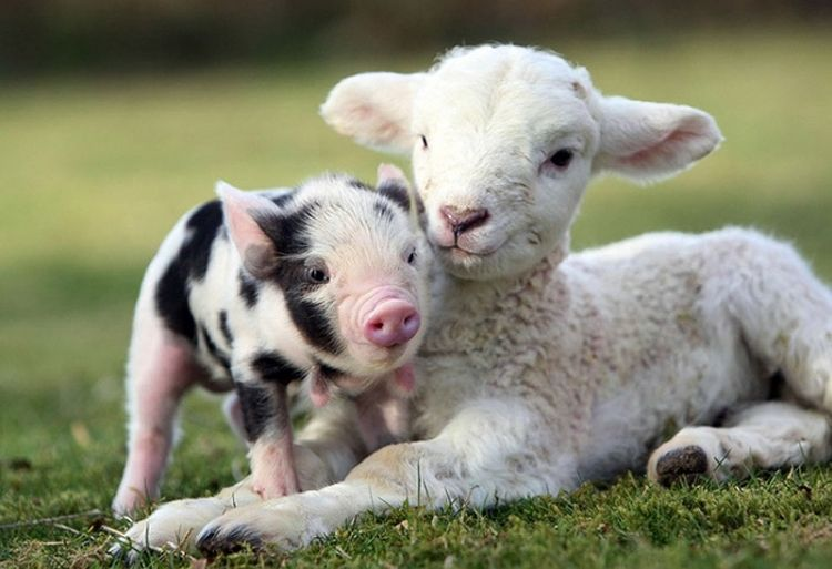 the 20 heartwarming pictures of baby pigs you need to see before you